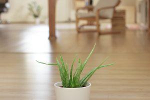aloe vera plant air purifier