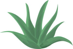 aloe vera for diabetes home remedy